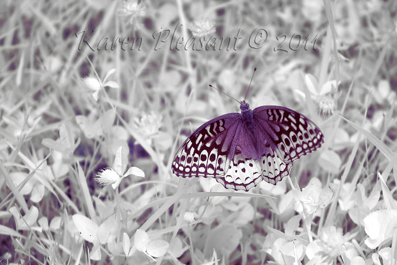 #2  Butterfly, Cades Cove, Smokey Mountain National Park, Tn